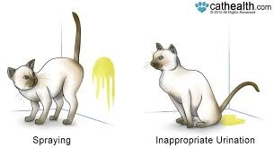 cat spraying vs inappropriate urination